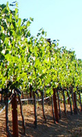 vineyard_button